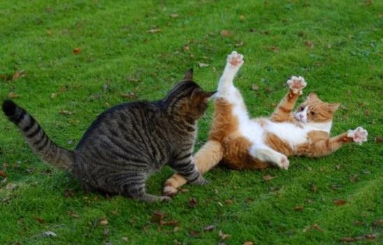 Cat-Fight14